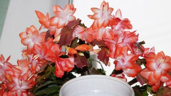 6-winter-blooming-indoor-flower-Christmas-Cactus-Schlumbergera