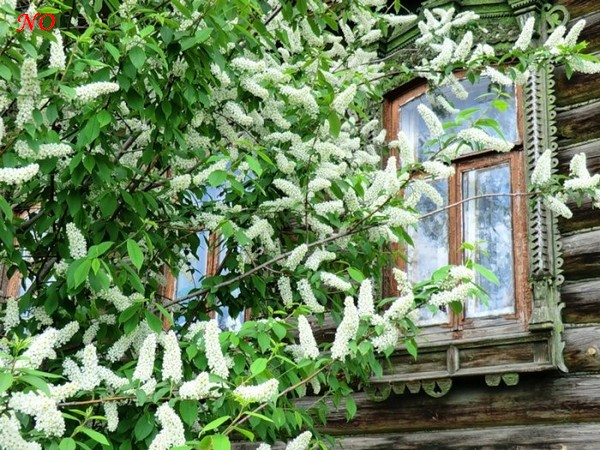 7-garden-tree-blooming-by-the-window-country-house (1)