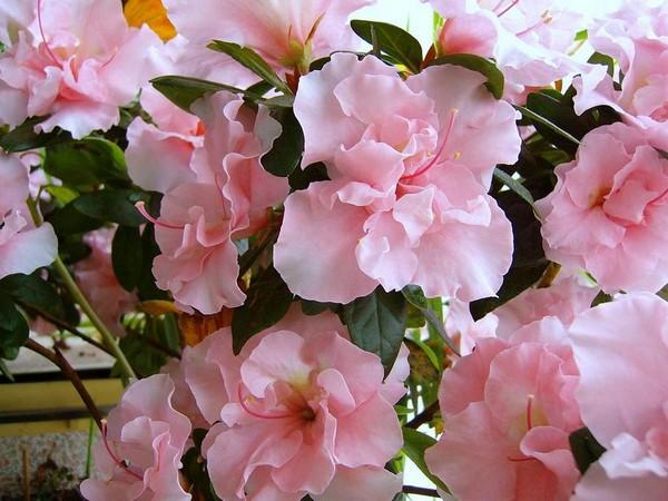 8-winter-blooming-indoor-flower-azalea