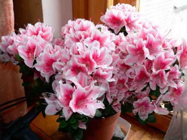 9-winter-blooming-indoor-flower-azalea