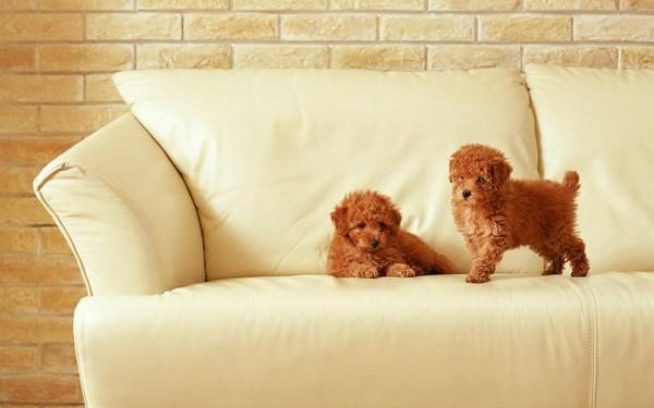 0-dogs-puppis-on-white-sofa