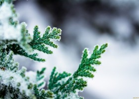 0-garden-in-winter-arbovitas
