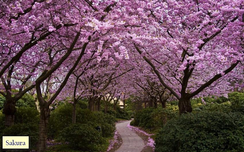 2-1-Japanese-garden-plants-sakura-blossom