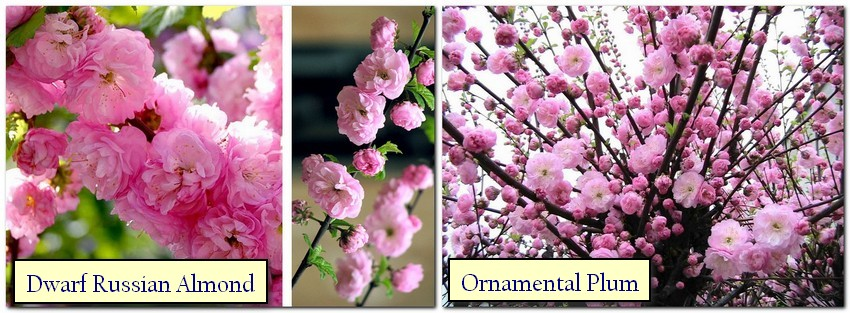 2-2-Japanese-garden-plants-dwarf-Russian-almond-ornamental-plum-blossom-pink
