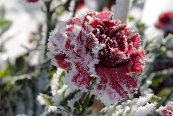 2-rose-in-winter-snow