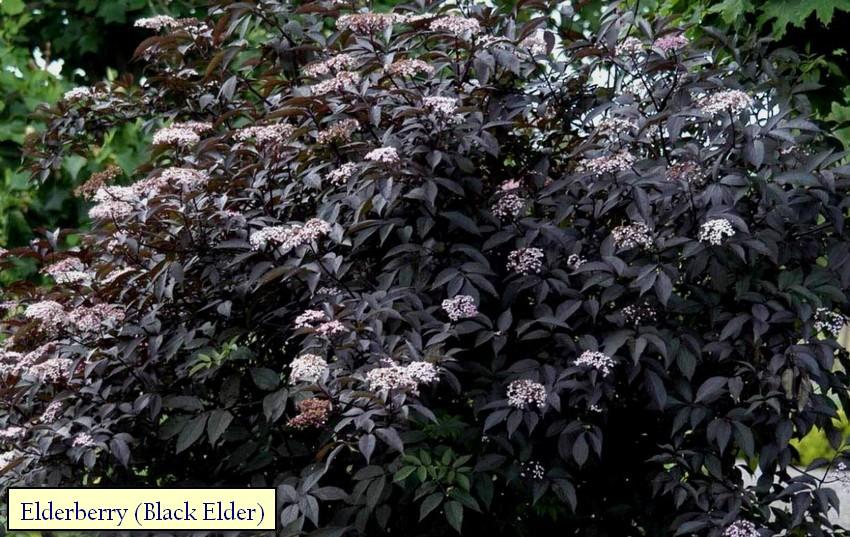 3-3-Japanese-garden-plants-elderberry-black-elder-blossom