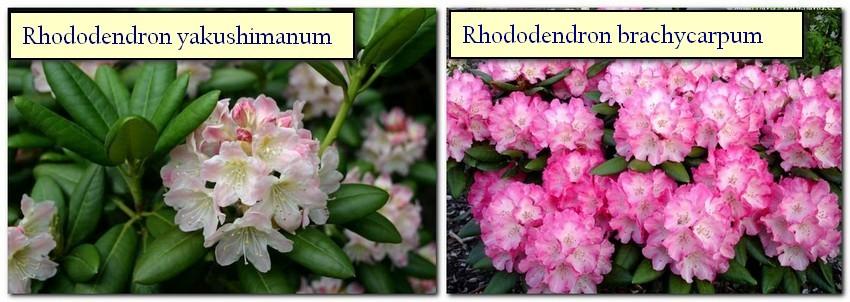 4-Japanese-garden-plants-Rhododedron-Rhododendron-yakushimanum-Rhododēndron brachycārpum