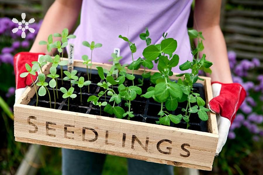 0-planting-seedlings-box