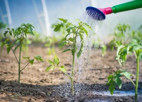 0-sound-healthy-young-tomato-in-open-ground-outdoors-watering-from-can