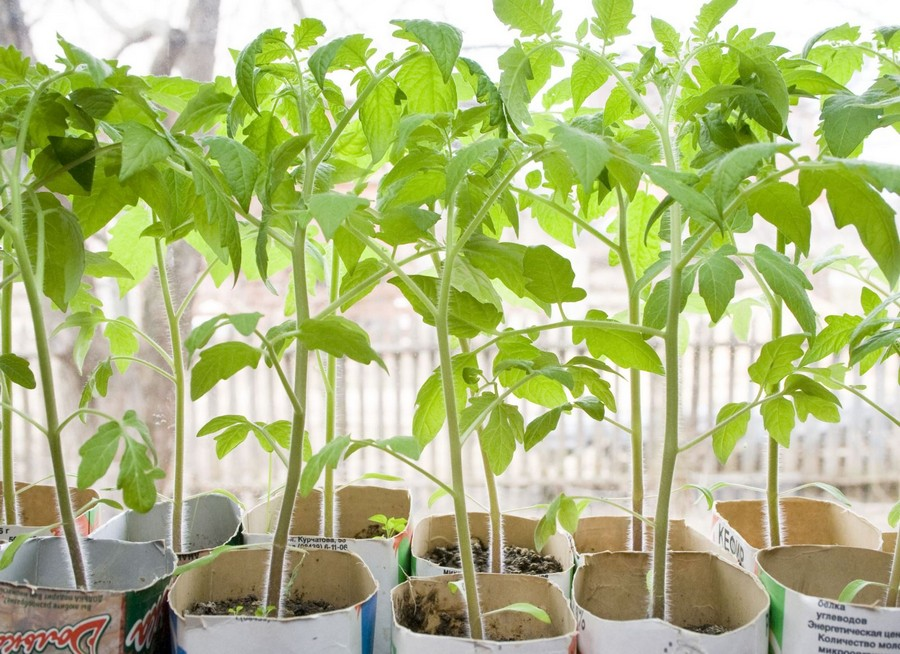 2-sound-healthy-tomato-seedlings-on-windowsill-in-paper-cups-much-sunlight