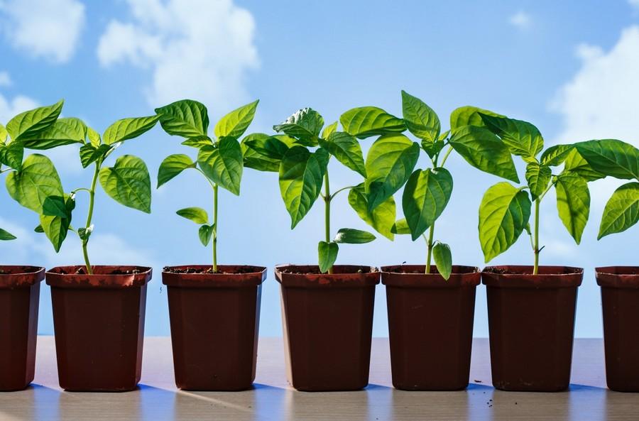 3-sound-healthy-papper-seedlings-on-windowsill-in-pots-much-sunlight-blue-sky