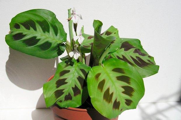 3-undemanding-indoor-plants-maranta-tropical