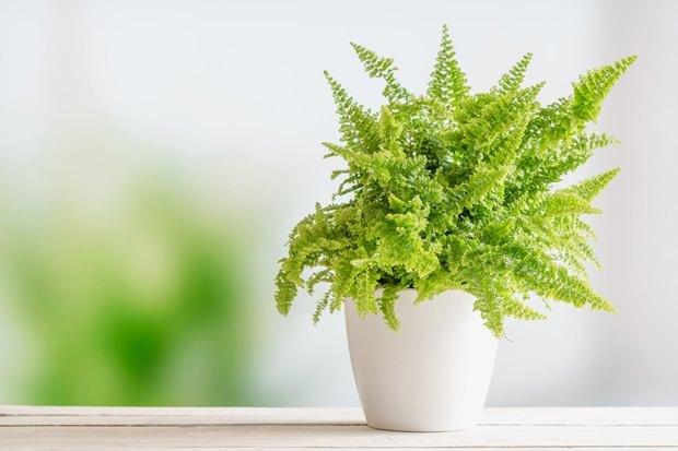4-undemanding-indoor-plants-Nephrolepis-fern-species-potted