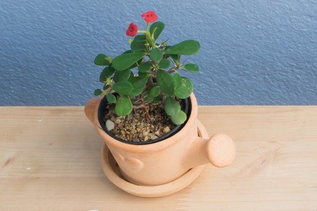 5-undemanding-indoor-plants-Euphorbia-spurge