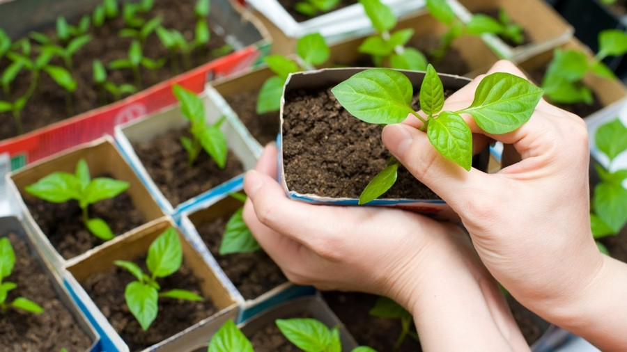 9-pepper-seedlings-transplantion-gardening-jobs