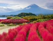 Kochia: Spectacular Ornamental Plant for Your Landscape Design
