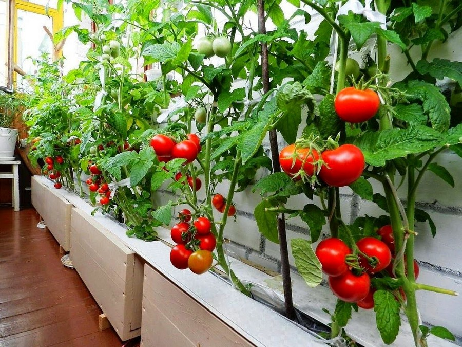 1-1-growing-cherry-tomatoes-on-the-balcony-garden