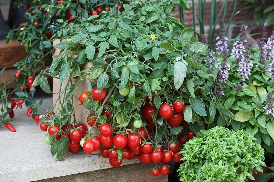 1-2-growing-cherry-tomatoes-on-the-balcony-garden