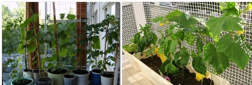 2-growing-cucumbers-vertically-fruit-frame-trellis-on-the-balcony-garden_cr