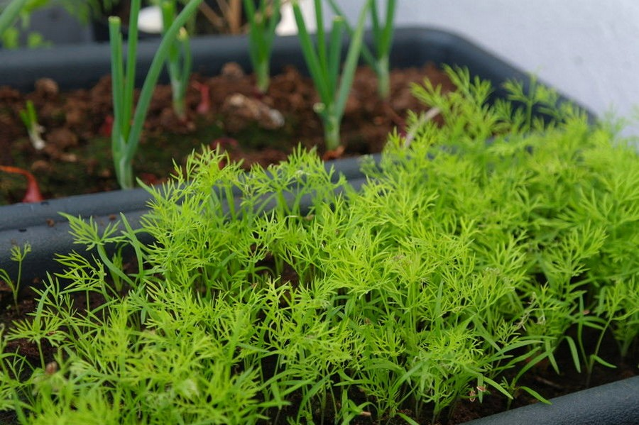 4-spring-green-onion-scallion-dill-growing-in-containers-balcony-garden