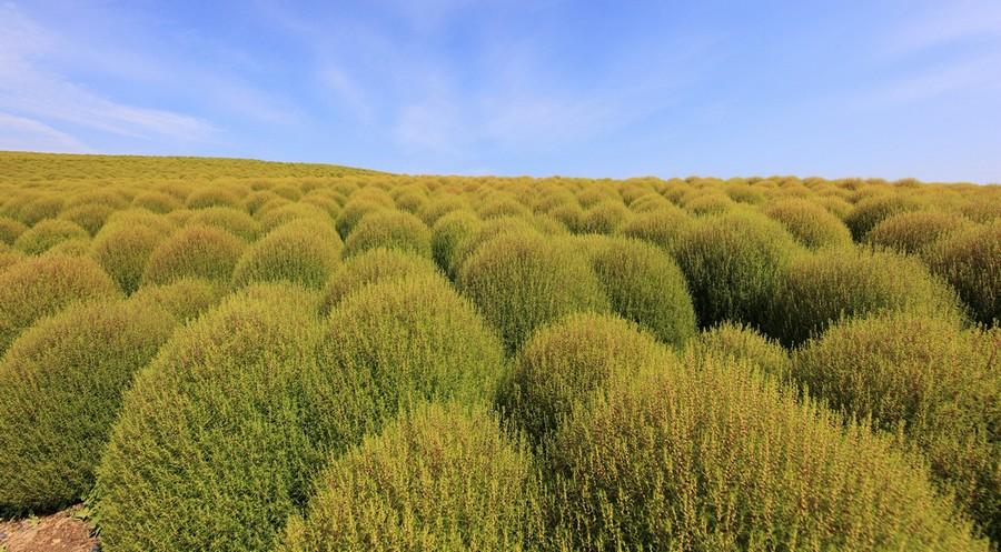 6-Kochia-scoparia-beautiful-ornamental-annual-plant-landscape-design