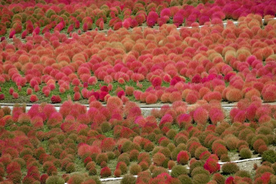 7-Kochia-scoparia-beautiful-ornamental-annual-plant-landscape-design-red-autumn