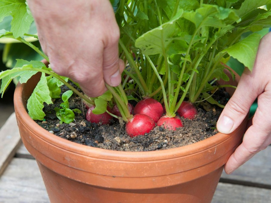 9-raddish-growing-in-the-balcony-garden-flower-pot-container