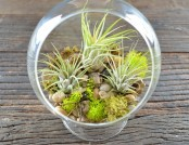 Tillandsia, or Airplant: 8 Ideas for Growing Rootless Plant