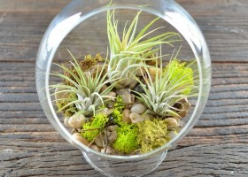 00-tillandsia-airplant-air-plant-aerophyte-epiphyte-ideas-in-interior-design-growing-in-a-florarium