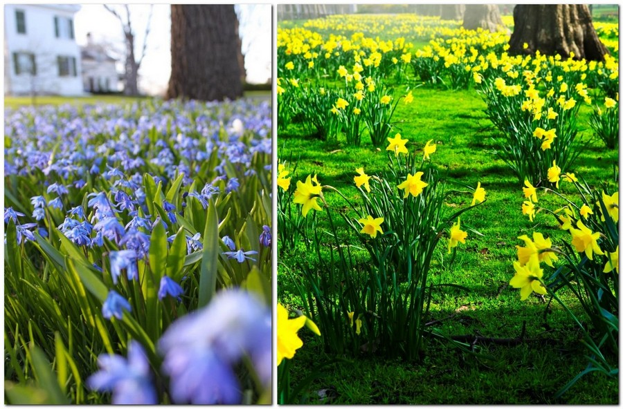 3-blooming-lawn-blossom-first-spring-flowers-in-the-park-planted-in-the-lawn-blue-snowdrops-yellow-daffodils