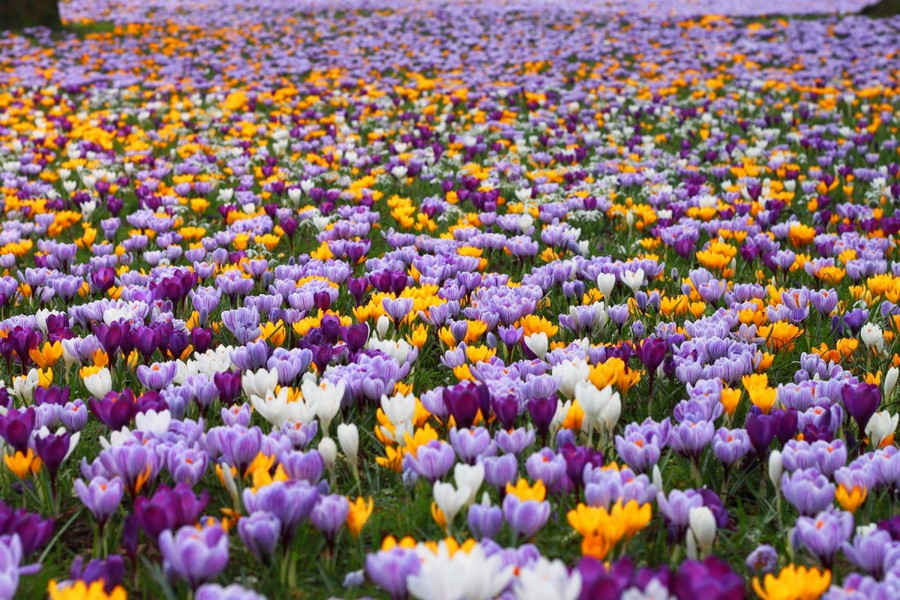 9-blooming-lawn-blossom-first-spring-flowers-in-the-park-planted-in-the-lawn-white-purple-yellow-crocuses