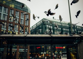 control-feral-pigeons-in-buildings (1)