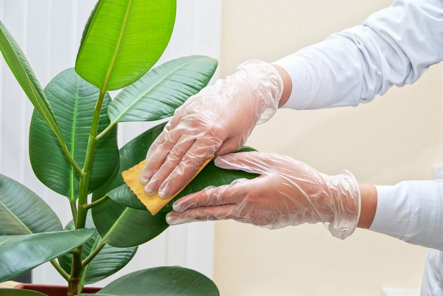 5-wiping-cleanig-dust-on-pot-indoor-plants